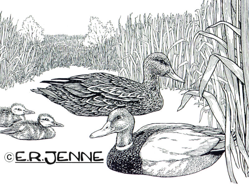 This illustration of a family of mallards was used on 'Save Open Space' signage at a conservation easement protected wetland.