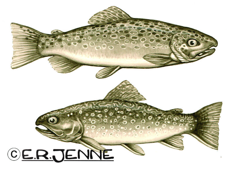 "Illustrations of brown and brook trout rendered with an inkwash technique.  These drawings were used in the book ""Spincasting Brilliantly"" by Michael Rutter."