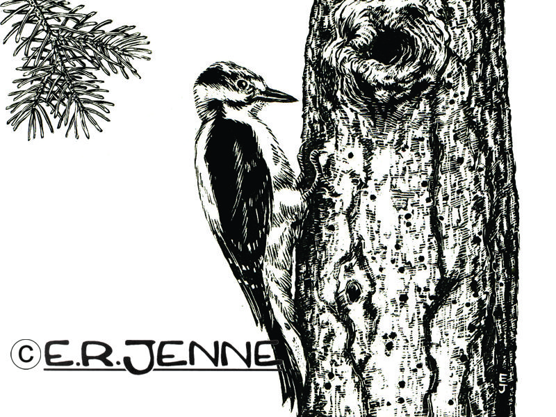 This scratchboard illustration of a hoary woodpecker was utilized in a Forest Service handout about the Lee Creek area.
